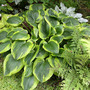 Hosta Abiqua Moonbeam on June 15 (Hosta Abiqua Moonbeam)