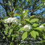 Chokecherry Blossoms!