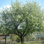 Bot. Garden Chokecherry