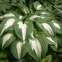 Hosta Night Before Christmas (Hosta Night Before Christmas)