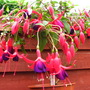 Late_may_fuchsias_008