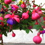 Late_may_fuchsias_010