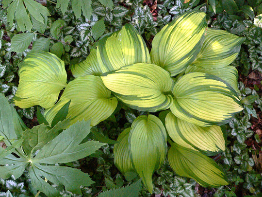 Hosta On Stage (Hosta Montana On Stage)