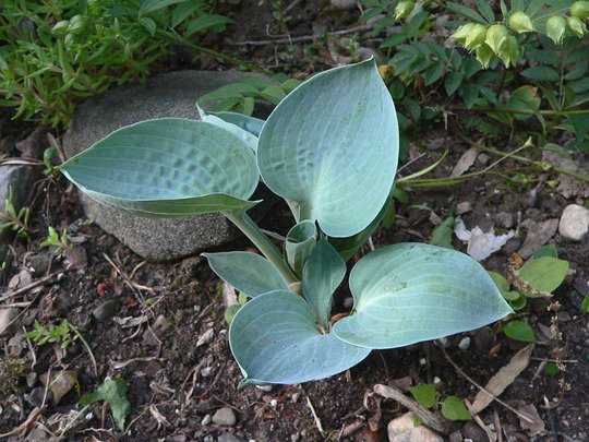Hosta Blue Ice - Mini (Hosta Blue Ice)