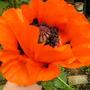 papaver_orientale  ((Oriental poppy))