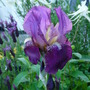 Iris Germanica....Red (Iris germanica (Orris))
