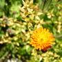 Hieracium_brunneocroceum