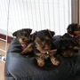 Feb_march_2005_amber_s_2nd_litter_of_pups_125