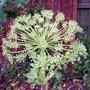 Angelica A 'Corinne Tremaine' (Angelica archangelica (Angelica))
