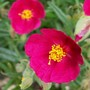 Rock Rose - Unknown Pinky/red (Helianthemum apenninum (Apenninen-Sonnenroschen))