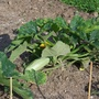 26_may_courgettes