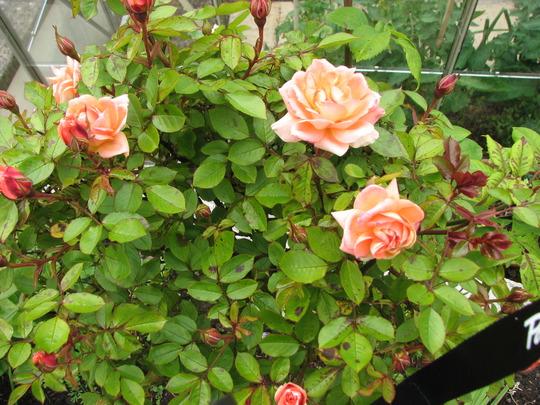 Standard Rose,