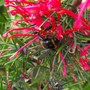 Bee having a feast on the Grevillea