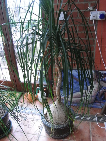 The 'pony tail palm' (Beaucarnea recurvata (Ponytail Palm))
