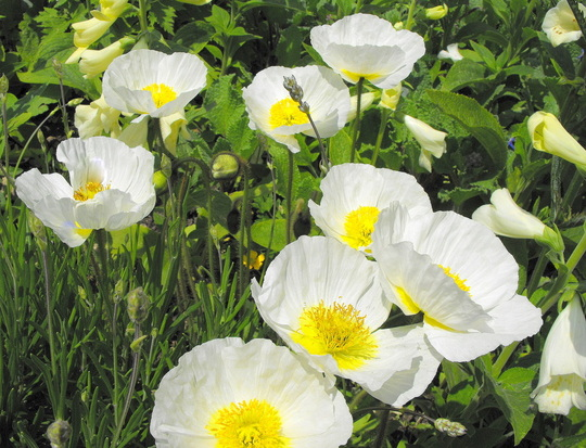 """White Iceland Poppies """"Spring Fever"""""""