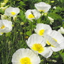 White Iceland Poppies &quot;Spring Fever&quot;