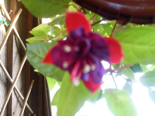 fuchsia in flower .
