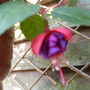 fuchsia in flower .