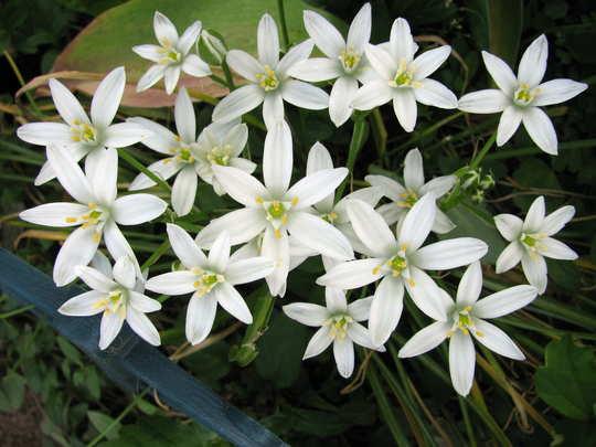 Star of Bethlehem flowers (Ornithogalum umbellatum)
