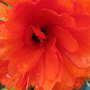Ranunculus (Ranunculus asiaticus)