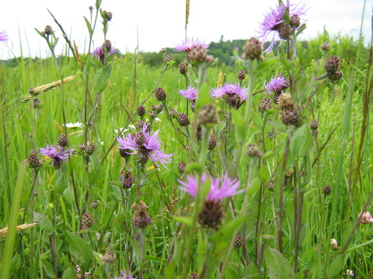 prairie plant...centauria