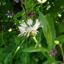 Centaurea montana 'Carnea' (Centaurea montana (Berg Centaurie))