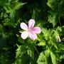 pink geranium for Sanbaz
