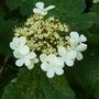 Viburnum opulus (Viburnum opulus (Guelder rose))