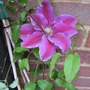 Clematis_dr_ruppel