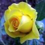 Korresia_rose