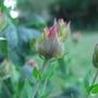 St John's Wort buds (Hypericum Polyphyllum)