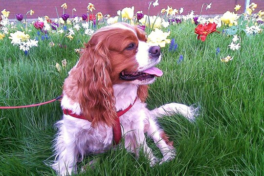 Bailey amongst the spring flowers