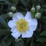 Carpenteria_californica_209