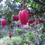 Crinodendron_hookerianum_2009