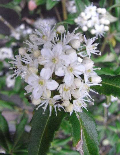 Acradenia frankliniae (Acradenia frankliniae)