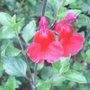 Salvia_microphylla_hot_lips_