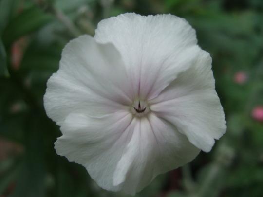 Flanell Flower