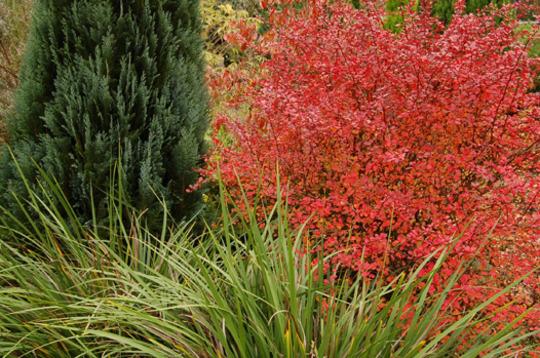 Foliage variations (Berberis thunbergii 'Rose Glow')