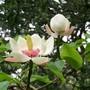 Magnolia at Bodnant