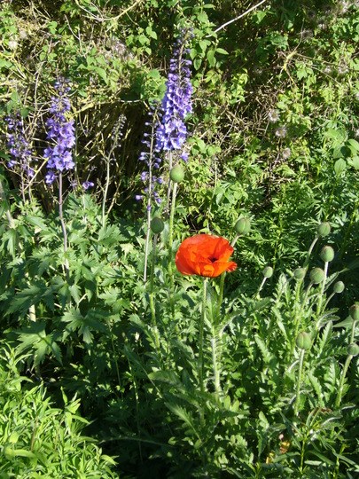Poppy and delphinium (Papaver orientalis 'Allegro')