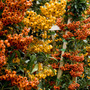 liked the colour collection of the pyracantha