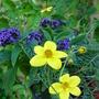 Bidens and Heliotrope (Bidens ferulifolia......Goldfever)