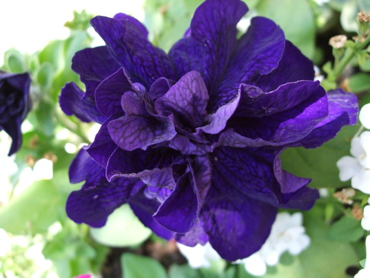Double purple Petunia.