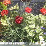 Geraniums_Variegated__Red__on_balcony__21-07-08_001.jpg