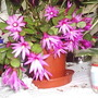 Easter_cactus_schlubergera_on_kitchen_table_20_05_07_2_
