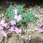 Dianthus gratianopolitanus (Dianthus gratianopolitanus)