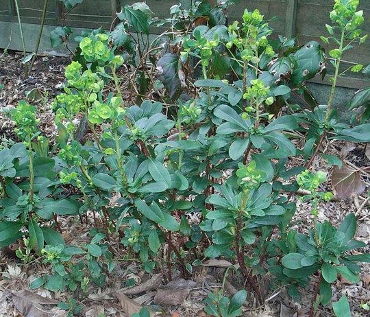 Euphorbia amygdaloide var robbiae (Euphorbia amygdaloides)