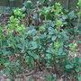 Euphorbia_amygdaloides_var_robbiae
