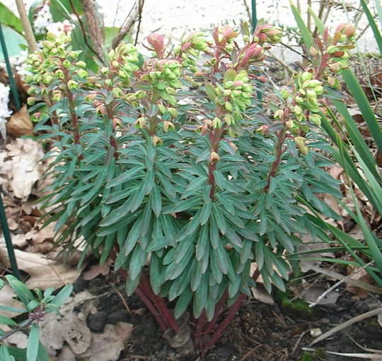 Euphorbia 'Redwing' (Euphorbia 'Redwing')
