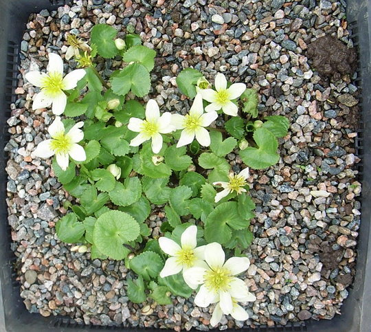 Caltha palustris 'Alba' (Caltha palustris)